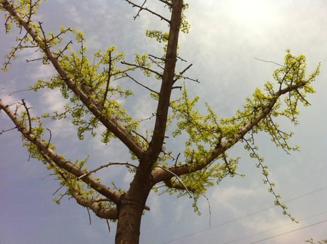 香枫树叶子图片